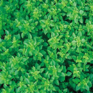 Basil Greek 600 seeds / 1200 seeds